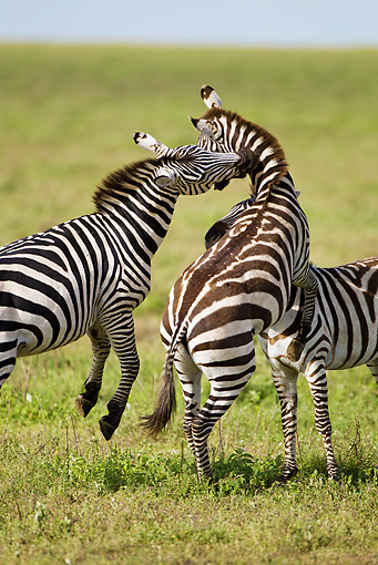 AFW 10 MC0019 01 © Kimball Stock Two Burchell's Zebra Stallions Fighting On Savanna Tanzania