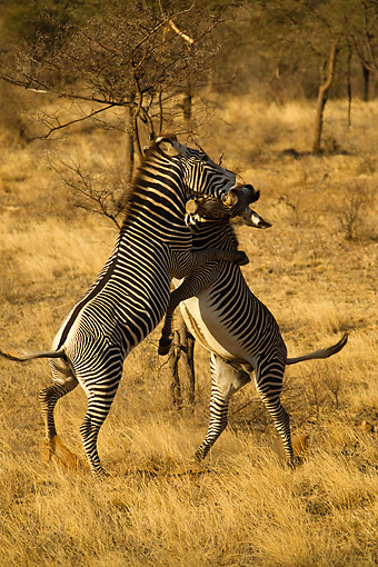AFW 10 MC0027 01 © Kimball Stock Grevy's Zebras Fighting In Samburu Game Reserve, Kenya