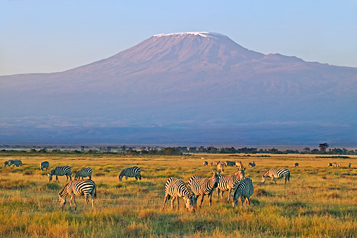 AFW 10 MH0001 01 © Kimball Stock Herd Of Burchell's Zebras Standing On Savanna By Mount Kilamanjaro