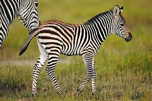 AFW 10 MH0004 01 © Kimball Stock Burchell's Zebra Foal Walking On Savanna