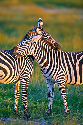 AFW 10 MH0006 01 © Kimball Stock Two Burchell's Zebras Nuzzling On Savanna
