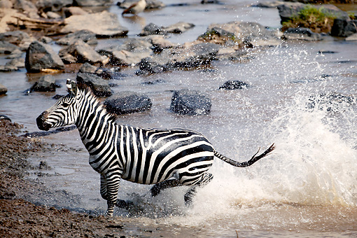 AFW 10 MH0008 01 © Kimball Stock Burchell's Zebra Running Through River