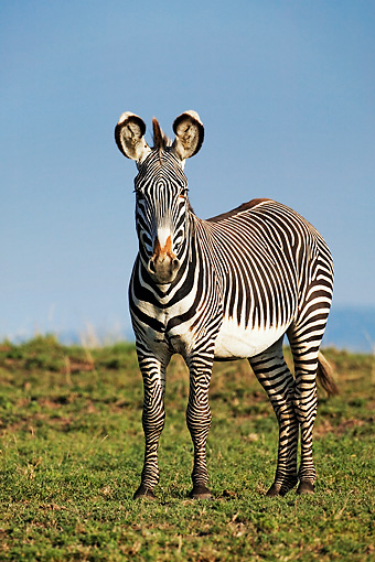 AFW 10 MH0012 01 © Kimball Stock Grevy's Zebra Standing On Savanna