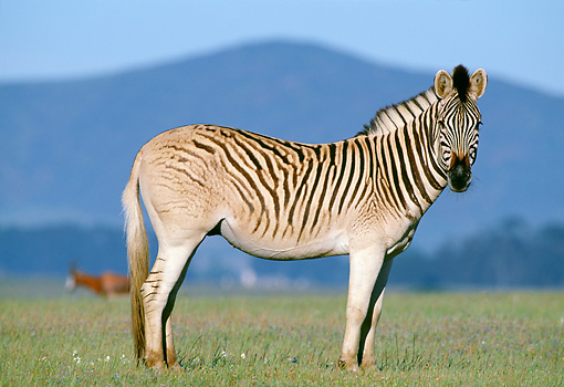 AFW 10 MH0013 01 © Kimball Stock Plains Quagga Zebra Standing On Savanna In South Africa Profile