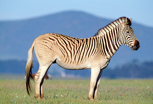AFW 10 MH0014 01 © Kimball Stock Plains Quagga Zebra Standing On Savanna In South Africa Profile