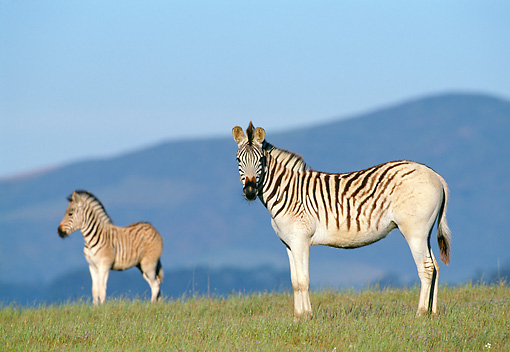 AFW 10 MH0015 01 © Kimball Stock Two Plains Quagga Zebra Standing On Savanna In South Africa Profile