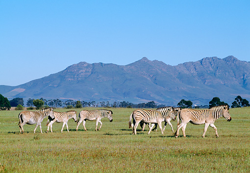 AFW 10 MH0016 01 © Kimball Stock Herd Of Plains Quagga Zebra Walking On Savanna In South Africa Profile