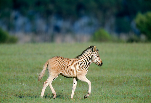AFW 10 MH0017 01 © Kimball Stock Plains Quagga Zebra Foal Walking On Savanna In South Africa Profile