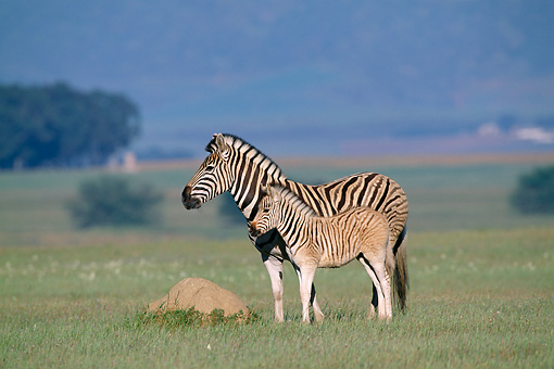 AFW 10 MH0018 01 © Kimball Stock Plains Quagga Zebra Mother And Foal Standing On Savanna In South Africa Profile