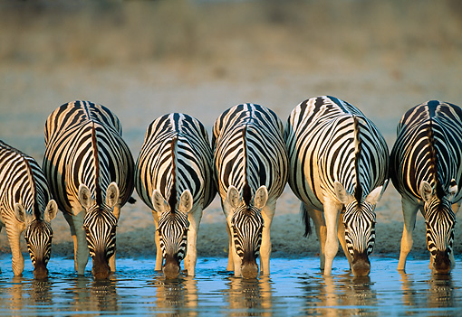 AFW 10 MH0020 01 © Kimball Stock Herd Of Burchell's Zebras Drinking At Watering Hole Namibia