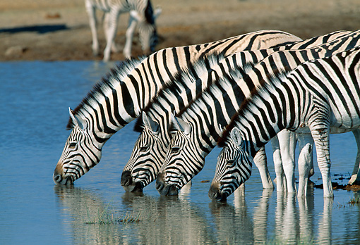 AFW 10 MH0021 01 © Kimball Stock Group Of Burchell's Zebras Drinking At Watering Hole Namibia