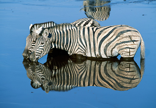 AFW 10 MH0023 01 © Kimball Stock Two Burchell's Zebras Drinking At Watering Hole By Reflection Namibia