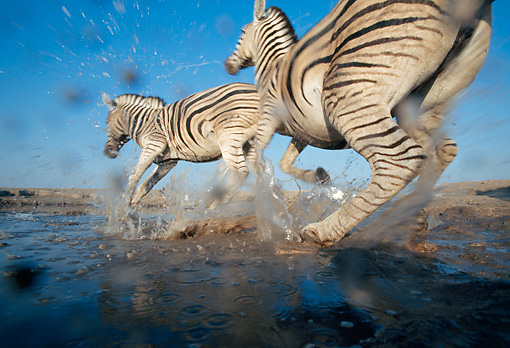 AFW 10 MH0025 01 © Kimball Stock Low Angle Of Two Burchell's Zebras Splashing Through Water Namibia