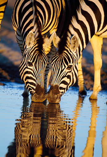 AFW 10 MH0027 01 © Kimball Stock Two Burchell's Zebras Drinking At Watering Hole By Reflection Namibia