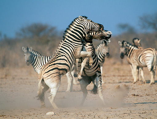 AFW 10 MH0030 01 © Kimball Stock Burchell's Zebras Fighting On Plains Namibia