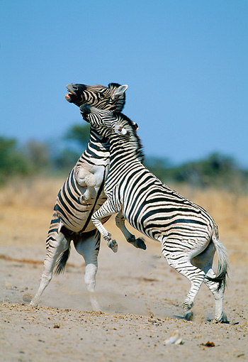AFW 10 MH0031 01 © Kimball Stock Two Burchell's Zebras Fighting On Plains Namibia