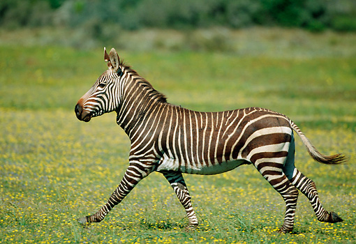 AFW 10 MH0033 01 © Kimball Stock Cape Mountain Zebra Walking Through Grassland South Africa