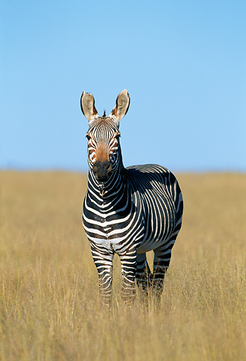 AFW 10 MH0034 01 © Kimball Stock Cape Mountain Zebra Standing In Savanna South Africa
