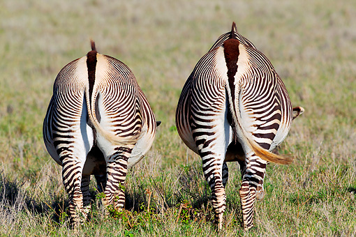 AFW 10 MH0035 01 © Kimball Stock Back View Of Two Grevy's Zebras Grazing In Plains Kenya