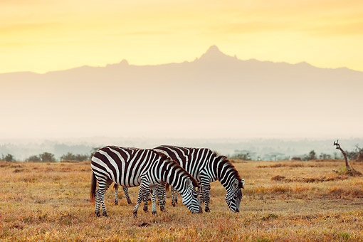 AFW 10 MH0038 01 © Kimball Stock Two Burchell's Zebras Grazing With Mount Kenya In Background