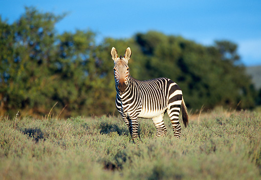 AFW 10 WF0003 01 © Kimball Stock Burchell's Zebra Standing In Meadow
