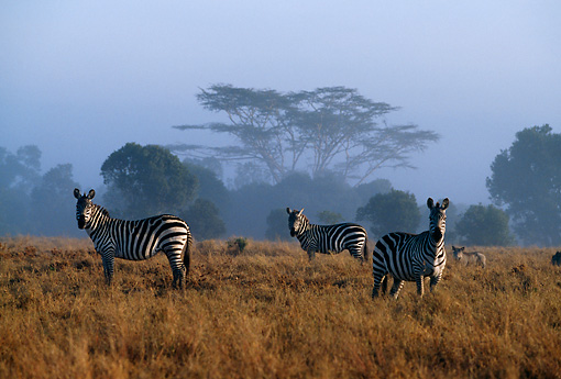AFW 10 DB0004 01 © Kimball Stock Herd Of Burchell's Zebras Standing In Field With Trees Sky Background