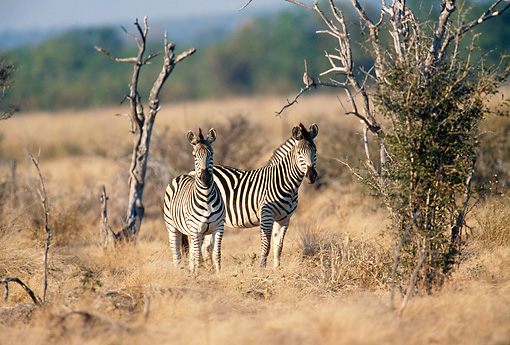 AFW 10 DS0001 01 © Kimball Stock Two Burchell's Zebras Standing On Savanna