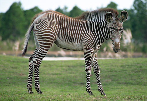 AFW 10 GR0001 01 © Kimball Stock Grevy's Zebra Foal Standing On Grass