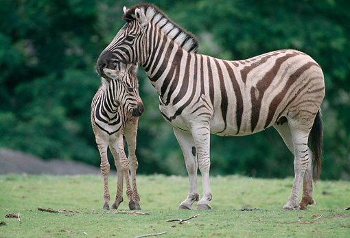 AFW 10 GR0004 01 © Kimball Stock Burchell's Zebra Foal And Mother Standing On Grass