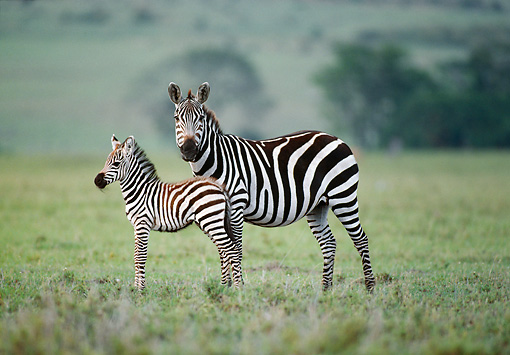 AFW 10 KH0002 01 © Kimball Stock Burchell's Zebra Mother And Foal Standing On Savanna