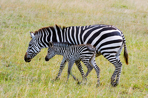 AFW 10 NE0001 01 © Kimball Stock Burchell's Zebra Mother And Foal Walking On Savanna Tanzania