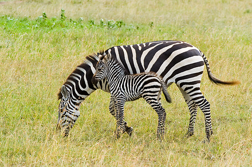 AFW 10 NE0004 01 © Kimball Stock Burchell's Zebra Mare And Foal Grazing On Savanna Tanzania