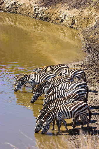 AFW 10 NE0007 01 © Kimball Stock Herd Of Burchell's Zebras Drinking From Watering Hole On Savanna Kenya