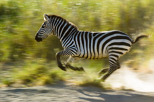 AFW 10 NE0011 01 © Kimball Stock Burchell's Zebra Galloping By Shrubs On Savanna Tanzania