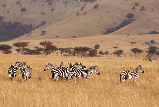 AFW 10 RF0004 01 © Kimball Stock Burchell's Zebra Herd South Africa