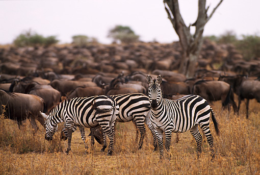 AFW 10 RF0009 01 © Kimball Stock Burchell's Zebra Herd South Africa