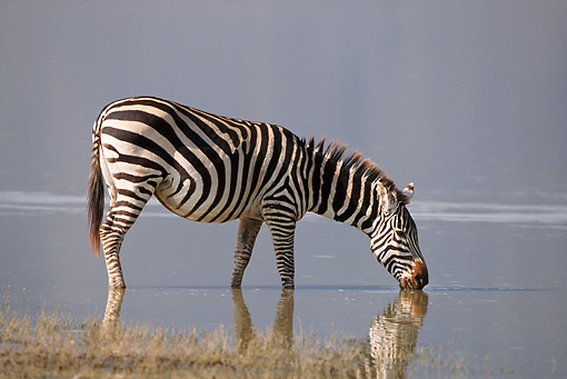AFW 10 RF0010 01 © Kimball Stock Burchell's Zebra Drinking From Lake South Africa