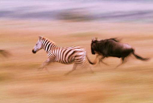 AFW 10 RF0012 01 © Kimball Stock Burchell's Zebra Running With Wildebeest South America