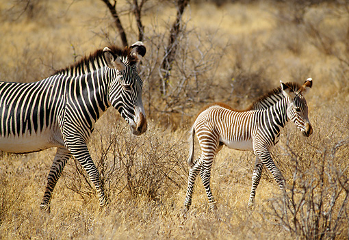 AFW 10 RW0002 01 © Kimball Stock Grevy's Zebra Mare And Foal Walking On Savanna Kenya