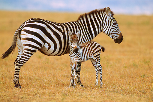 AFW 10 TL0002 01 © Kimball Stock Hartmann Mt. Zebra Mother With Young Foal