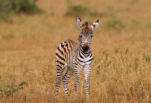 AFW 10 TL0004 01 © Kimball Stock Burchell's Young Zebra Foal Standing