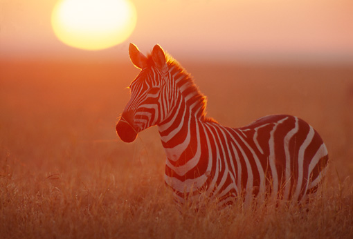AFW 10 TL0005 01 © Kimball Stock Burchell's Zebra In Field At Dusk