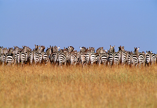 AFW 10 TL0011 01 © Kimball Stock Herd Of Burchell's Zebras Facing Away From Camera