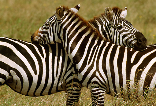 AFW 10 TL0013 01 © Kimball Stock Two Burchell's Zebras Interacting In Grassland Africa