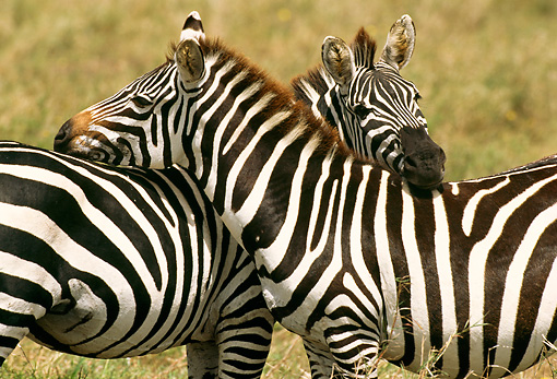 AFW 10 TL0014 01 © Kimball Stock Two Burchell's Zebras Nuzzling In Grassland Africa