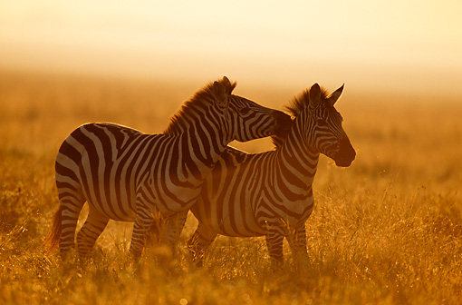 AFW 10 TL0015 01 © Kimball Stock Burchell's Zebra Nuzzling Other Zebra On Savanna At Dusk Africa