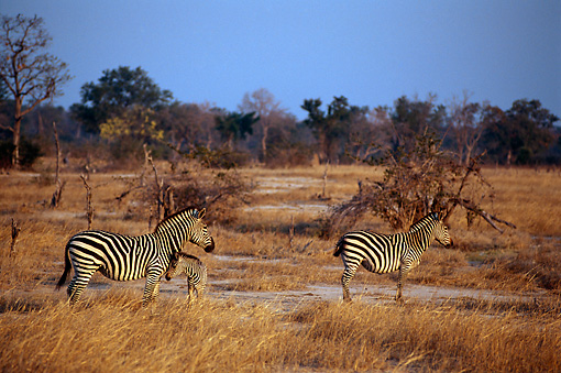 AFW 10 TL0016 01 © Kimball Stock Two Burchell's Zebras Adults And Foal Standing On Dry Grass By Trees Sky Africa
