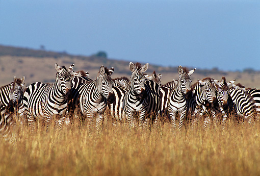 AFW 10 TL0017 01 © Kimball Stock Herd Of Burchell's Zebras Facing Camera On Dry Grass By Hill Sky Africa