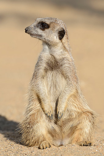 AFW 12 AC0009 01 © Kimball Stock Meerkat Standing At Attention In Africa