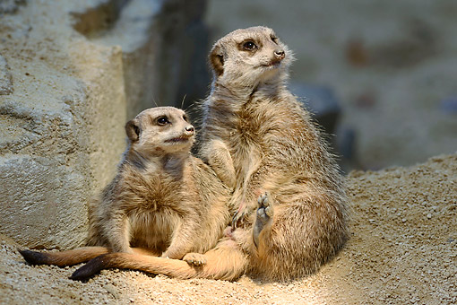 AFW 12 AC0012 01 © Kimball Stock Meerkats Sitting In Dirt